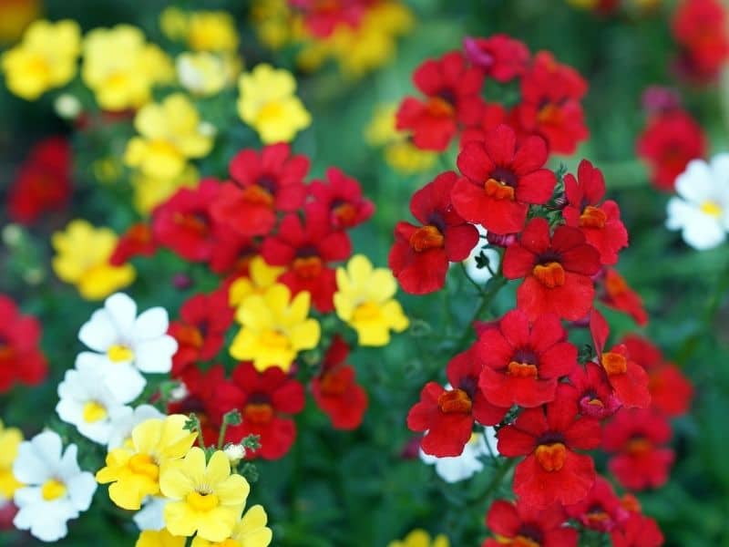 red and yellow nemesia flowers