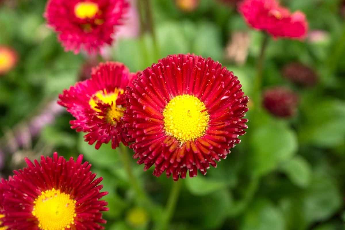 striking red flowers with yellow centers
