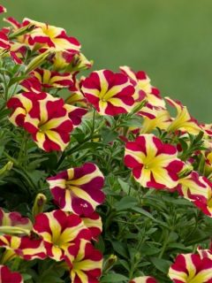 striped petunia flowers