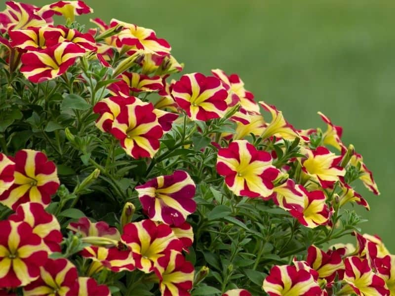 striped petunia flowers