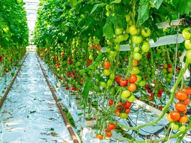 tomatoes growing in a hydroponic greenhouse