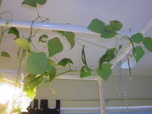 vines trailing up the PVC pipe stand