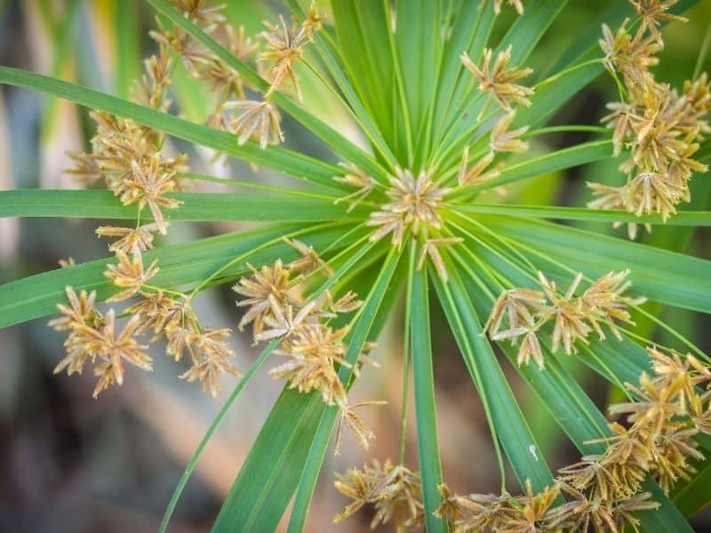 Cyperusinvolucratus