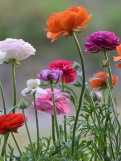 ranunculus flowers in many colors
