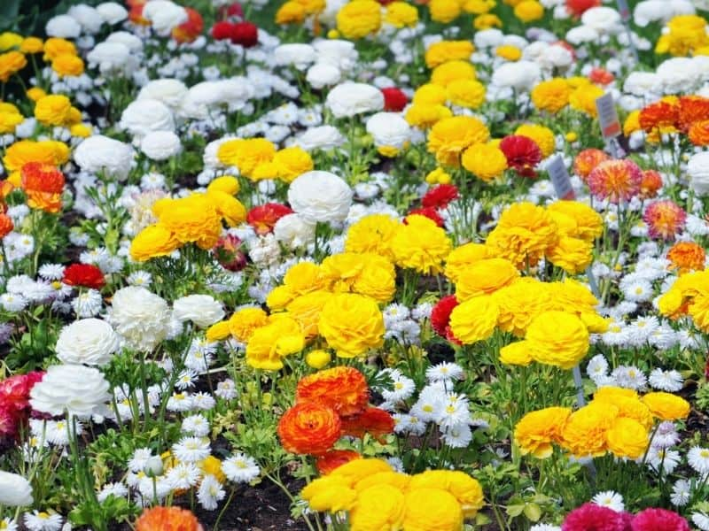 Ranunculus flowers field