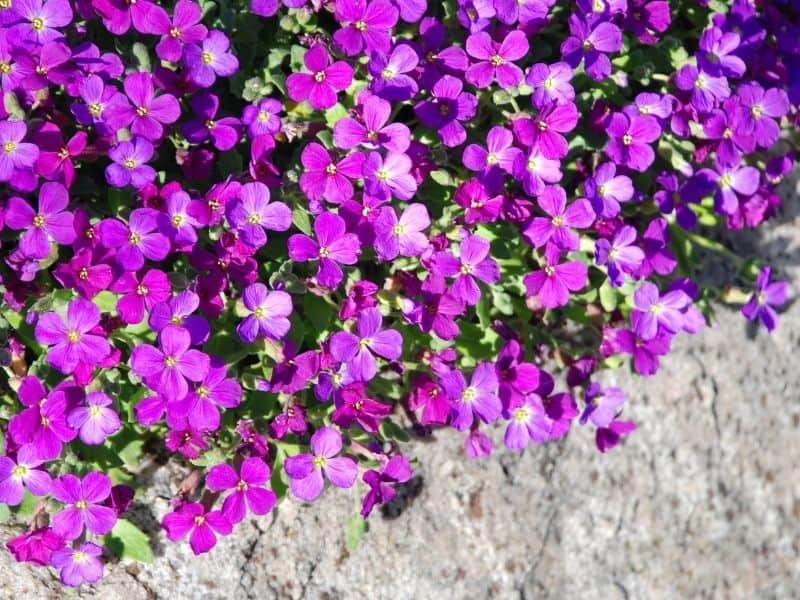 Rock cress flowers