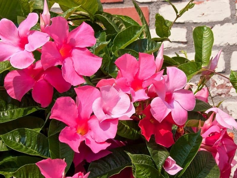 pink Rocktrumpet flowers