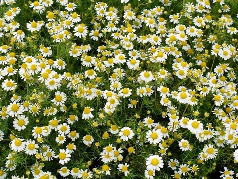 a field of Roman chamomile