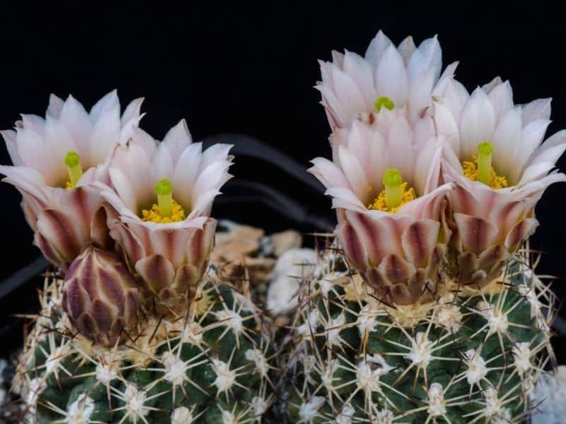 Sclerocactus wetlandicus