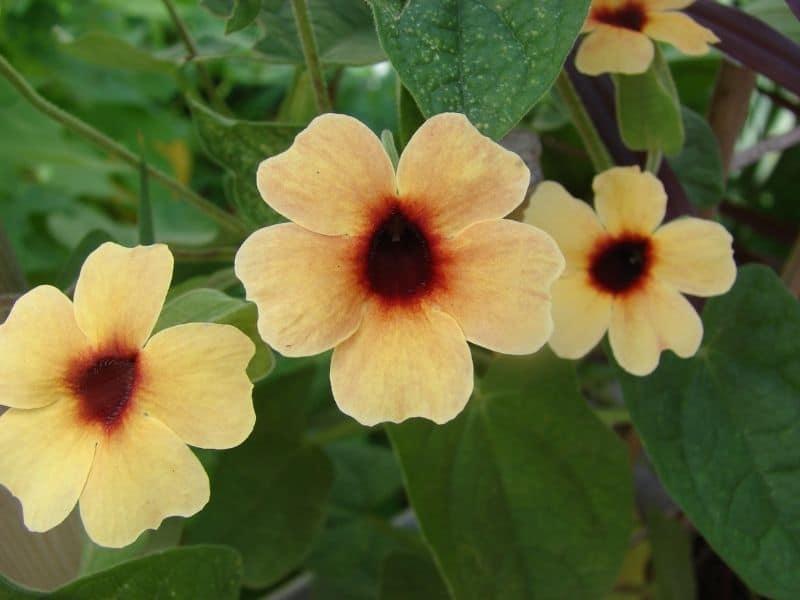 yellow Thunbergia flowers