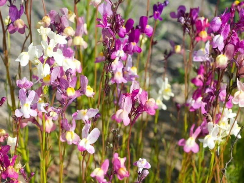 multicolored Toadflax flowers