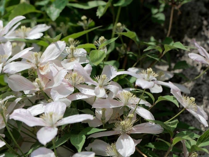 Upright clematis