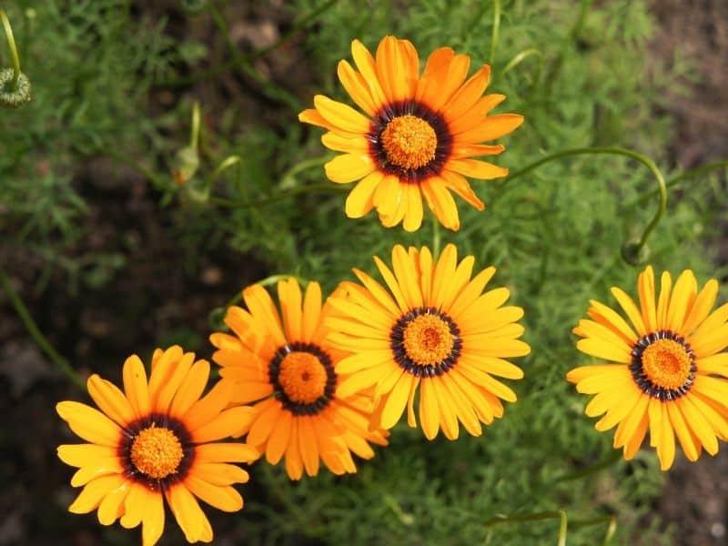 Ursinia flowers