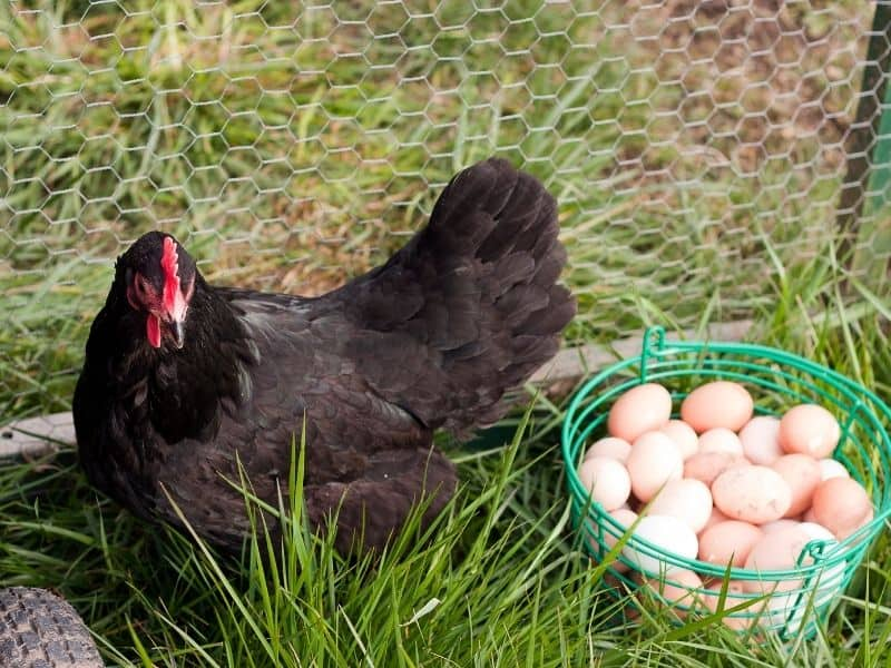 Australorp chicken with a basket of eggs