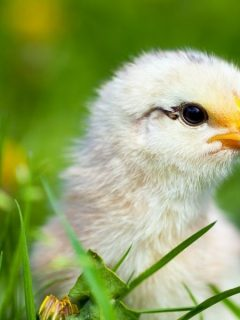 young baby chick