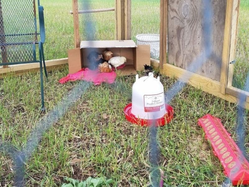our baby chicks getting used ot the outdoors