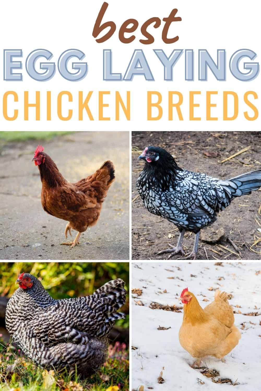 Best egg laying chicken breeds