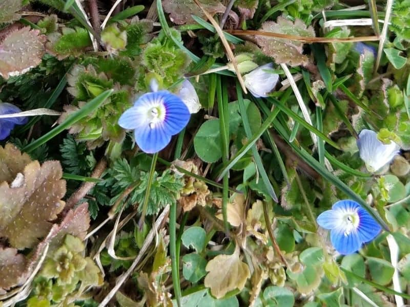 blue flowers of pretty weeds at our local park