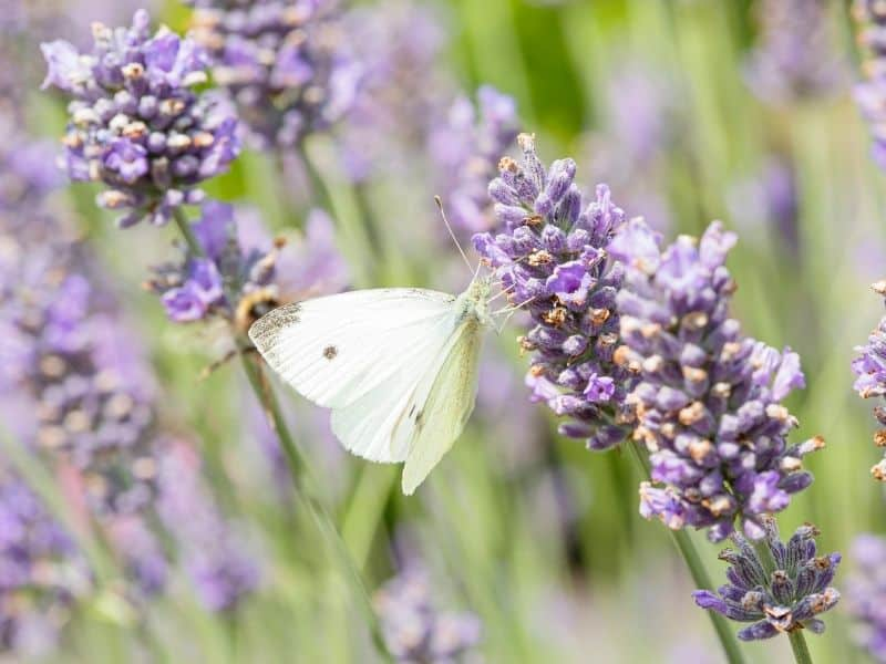 a butterfly on a lavender flower
