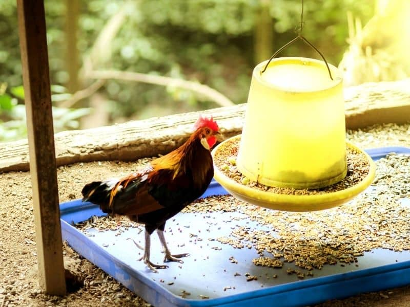 hanging chicken feeder