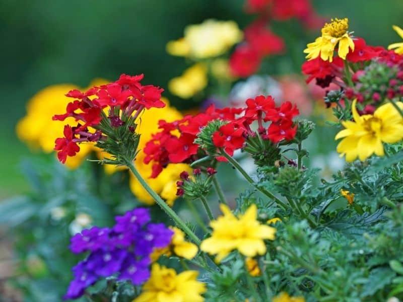 colorful verbena flowers