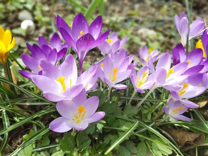 Crocus sativus - saffron