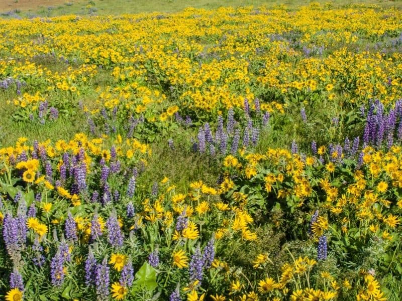 a field of yellow and purple flowers
