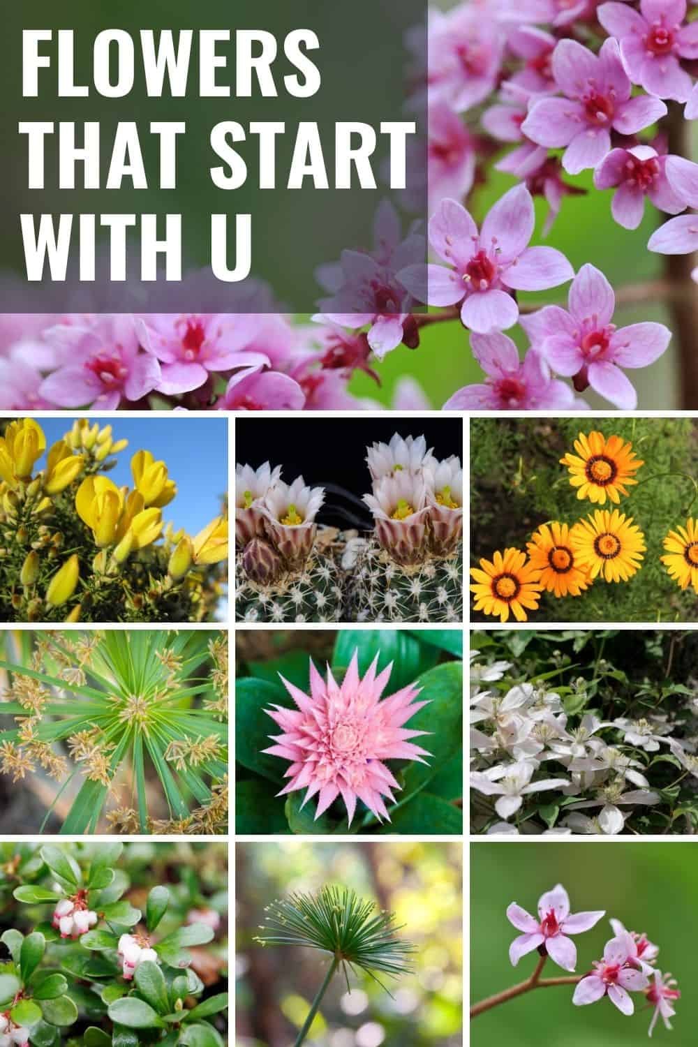 Flowers that start with u