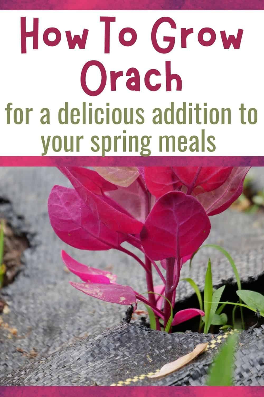 How to grow orach