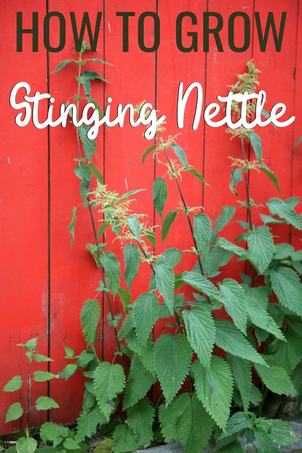 How to grow stinging nettle