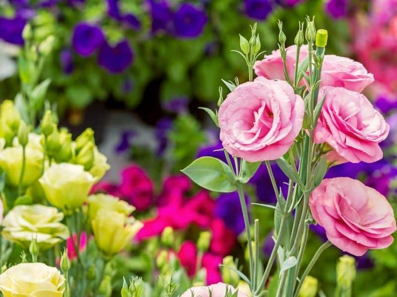pink and white lisianthus flowers