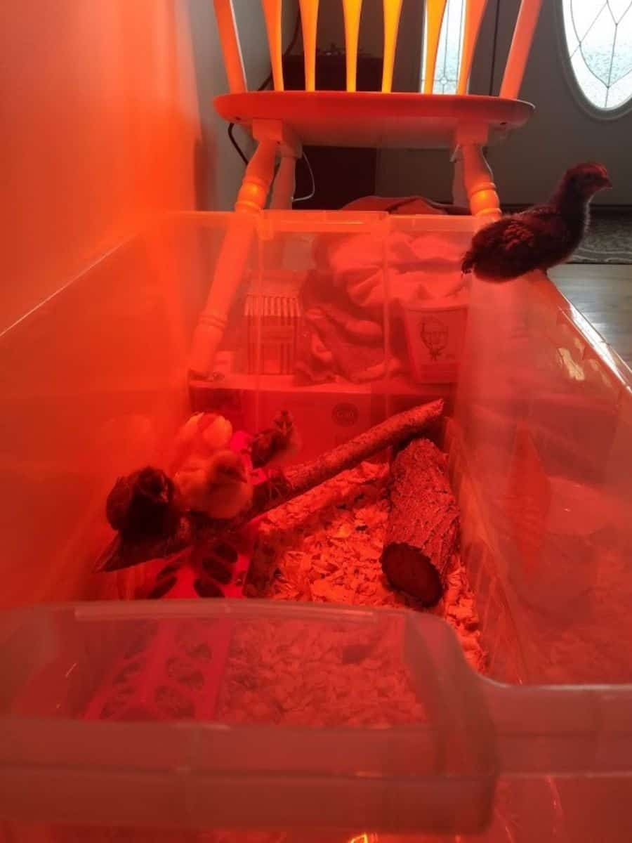 Our baby chicks in their tempolrary housing (a plastic bin)