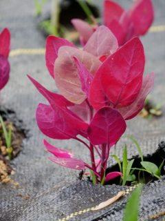 purple orach plant