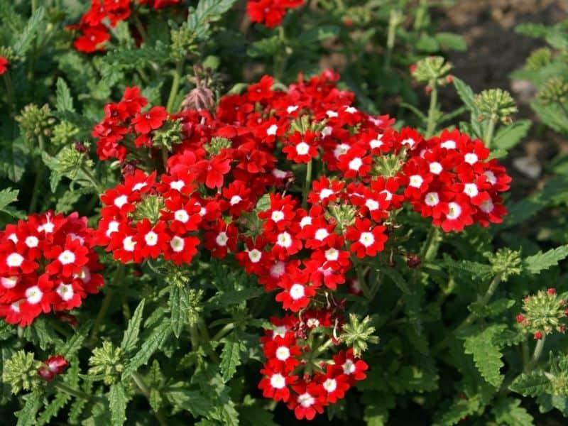 red verbena flowers