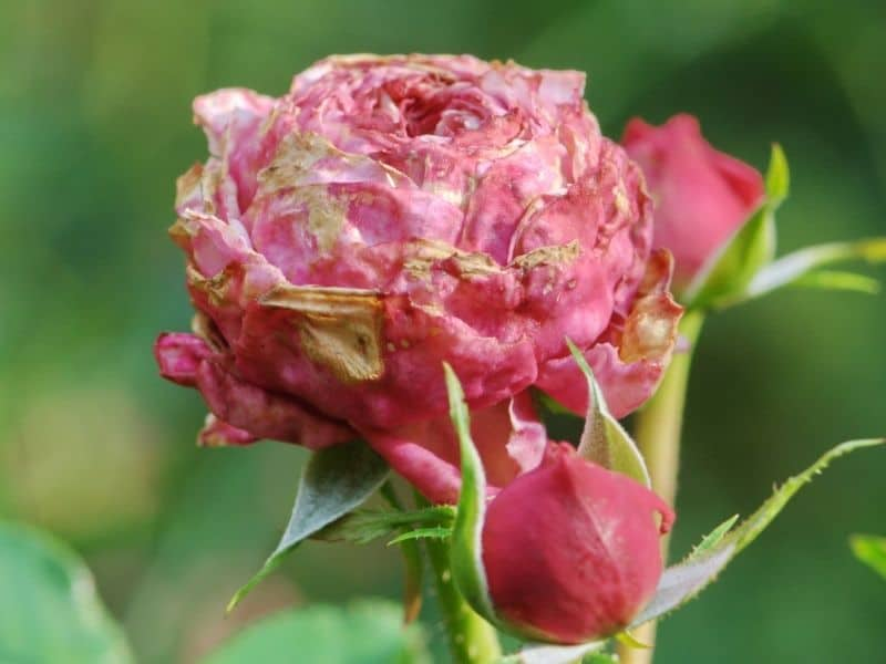 Pink rose affected by rose rosette disease