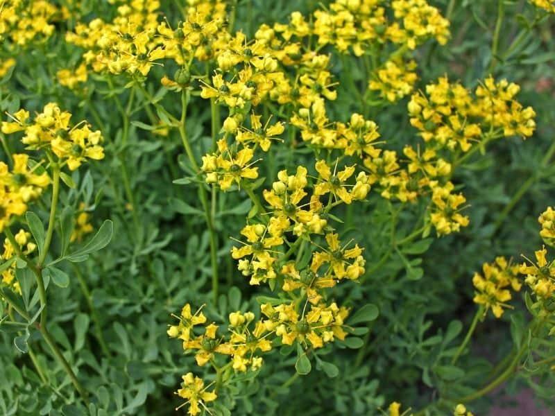 yellow rue flowers