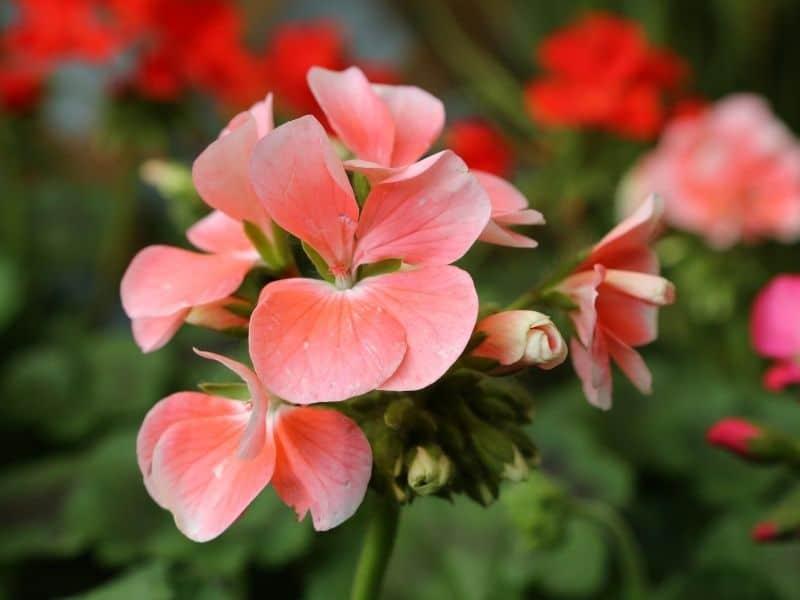 scented geranium flowers