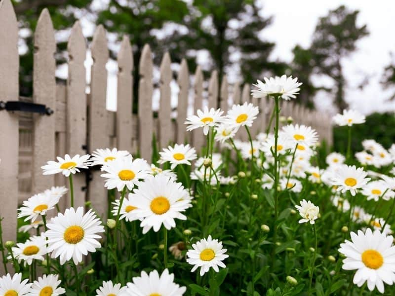 shasta daisies by a fence