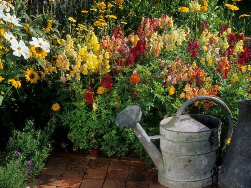 multicolor snapdragon flowers