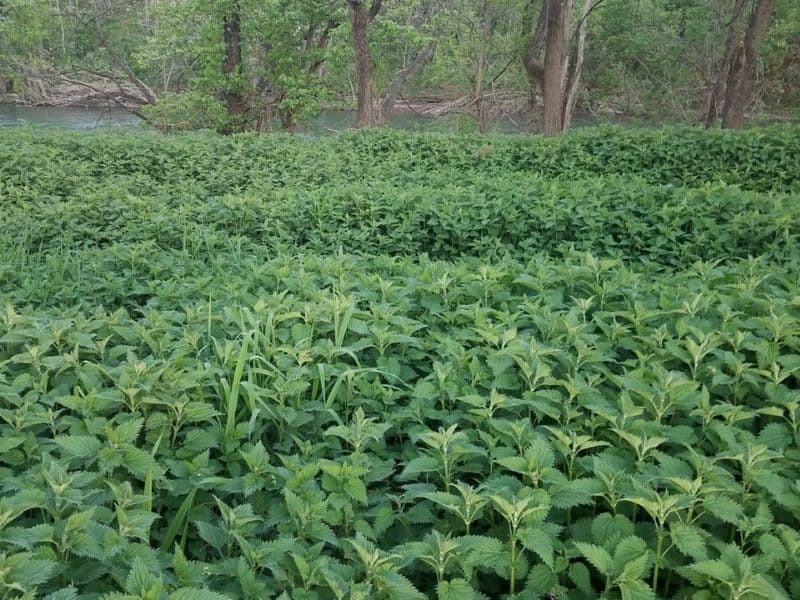 stinging nettle patch by the river