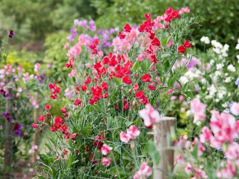 pretty sweet pea flowers in the garden