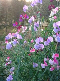 sweet pea lavender and pink colored flowers