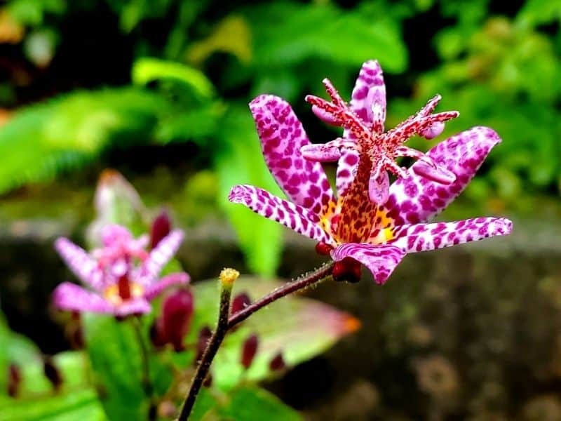 Toad lily flower