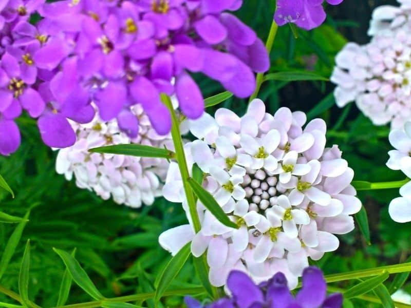 sweet alyssum flowers in white and purple