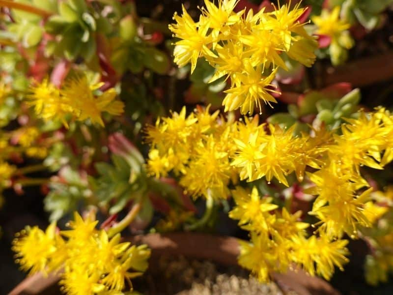 yellow sedum flowers