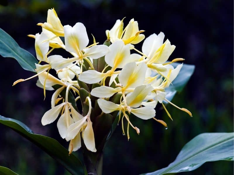 Hedychium flavescens - yellow ginger flowers