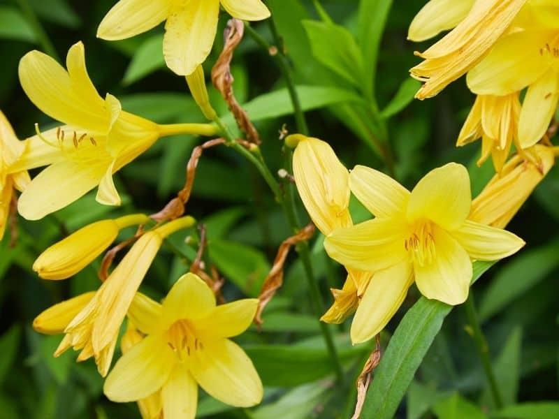 Hemerocallis lilioasphodelus - yellow dailily flowers
