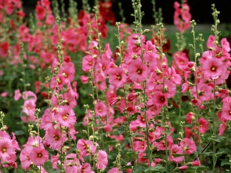 Hollyhocks garden