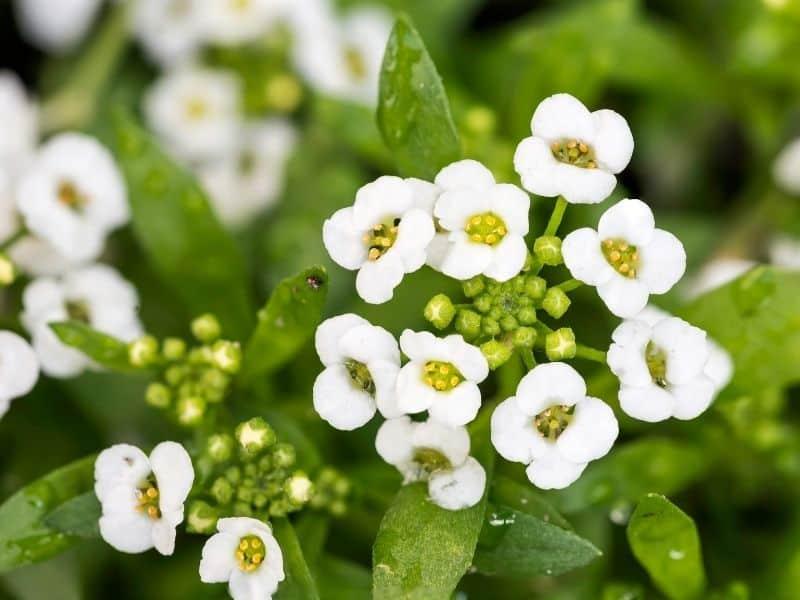 Lobularia flowers