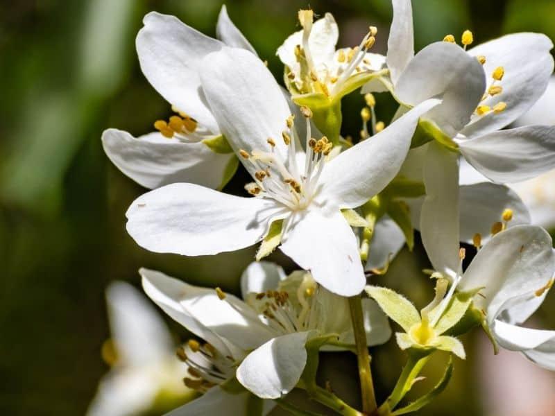 Philadelphus lewisii white flowers